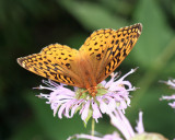 Great Spangled Fritillary - Speyeria cybele cybele