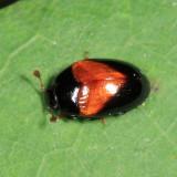 Handsome Tritoma - Tritoma pulchra