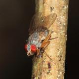 Neodexiopsis calopyga