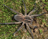 Wolf Spiders - Genus Tigrosa