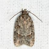 0911 - Bog Bibarrambla Moth - Bibarrambla allenella
