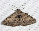 6405 - Hollow-spotted Angle - Digrammia gnophosaria