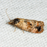 3776 - Hoffman's Cochlid Moth - Cochylis hoffmanana