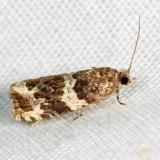 2812 - Olethreutes valdanum