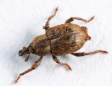Pickerelweed Weevil - Onychylis nigrirostris