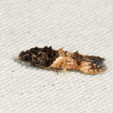 1615 – Sweetclover Root Borer Moth – Walshia miscecolorella