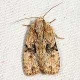 9404 – Black-banded Brocade Moth – Oligia modica