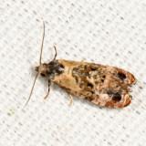 3776 – Hoffman's Cochlid Moth – Cochylis hoffmanana