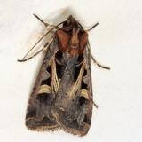 10676 – Master's Dart Moth – Feltia herilis