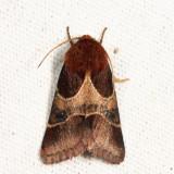11128 - Arcigera Flower Moth - Schinia arcigera