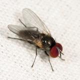 Fanniidae