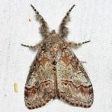 8293 - Sharp-lined Tussock - Dasychira dorsipennata