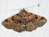 8499 - Common Fungus Moth - Metalectra discalis