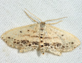 7157 - Frosted Tan Wave Moth - Scopula cacuminaria