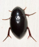 Giant Water Scavenger Beetle - Hydrophilus ovatus