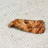 3767 - Cochylis aurorana