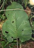 Liriomyza arctii (leaf mine)
