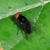 Platypeza anthrax (male)
