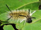 8203 - Banded Tussock Moth caterpillar - Halysidota tessellaris