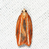 3548 - Eastern Black-headed Budworm Moth - Acleris variana
