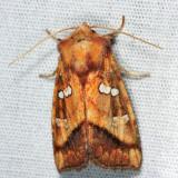 9480 - Bracken Borer Moth - Papaipema pterisii