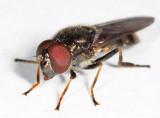 Cheilosia shannoni