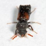 Red-shouldered Bostrichid - Xylobiops basilaris
