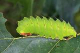 7757 - Polyphemus Moth - Antheraea polyphemus