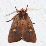 10967 – Southern Variable Dart Moth – Xestia elimata
