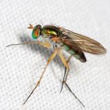 Dolichopus variabilis