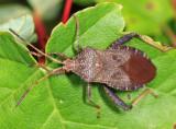 Helmeted Squash Bug - Euthochtha galeator