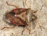 Brown Stink Bug - Euschistus servus