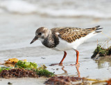 Shorebirds - genus Arenaria