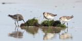 White-rumped Sandpiper - Calidris fuscicollis & Semipalmated Sandpiper - Calidris pusilla
