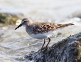 Shorebirds - genus Calidris