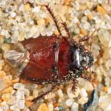 Pangaeus bilineatus (teneral)