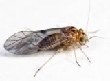 Indiopsocus sp.