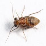 Indiopsocus infumatus (nymph)