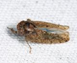 Paraphlepsius sp.