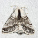 7670 - Large Tolype - Tolype velleda