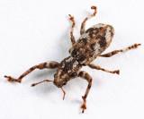 Weevils - Subfamily Entiminae (Broad-nosed Weevils)