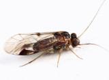 Indiopsocus campestris