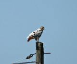 leucistic Red-tailed Hawk - Buteo jamaicensis