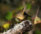 Common Yellowthroat - Geothlypis trichas (female)