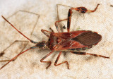 Western conifer seed bug - Leptoglossus occidentalis