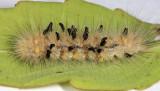 Eulophidae pupa