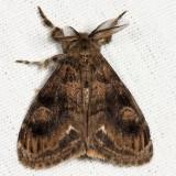 8314 - Definite Tussock Moth - Orgyia definita