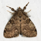 8316 – White-marked Tussock Moth – Orgyia leucostigma