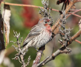 House Finch - Haemorhous mexicanus