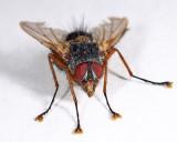 Ptilodexia rufipennis